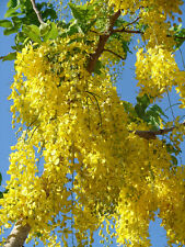 Golden Raintree - Flowering Tree Landscape Live Healthy - 2 Bare Root Plants