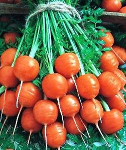 CARROT 'Paris 100 seeds UNUSUAL round MINI winter vegetable garden GOOD FOR POTS