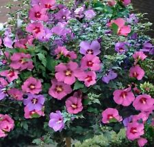 80 Hibiscus Rose of Sharon seeds,Hibiscus Syracuse pink