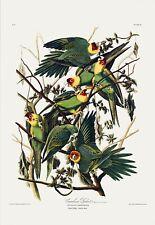 Carolina Parrot. Princeton Audubon Double Elephant Edition