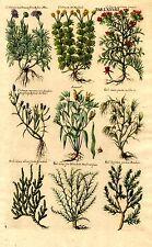 Botanica - incisione su rame originale del '700, Crithmum marinum, Kali