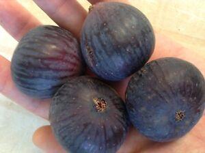 4 Ficazzana Black Fig Tree cuttings - Figs From Malta