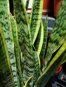 """Snake Plant Approx. 17""""  tall Mother-In-Law's Tongue, Sanseveria Live. FS"""