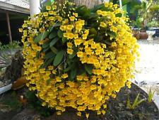 Orchids Plants: Dendrobium Lindleyi Blooming size Rare form Thailand