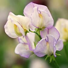 Highly Perfumed/Fragrant Sweet Pea Variety 'High Scent' (Lathyrus odoratus)