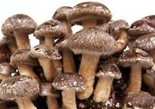 ballettasubstratokit  pronto coltivazione  funghi Shiitake Lentinula edodes