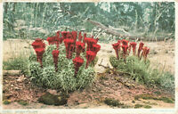 Postcard Cactus In Bloom Posted 1909