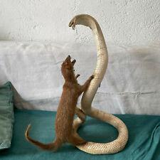 Cobra, Serpent, Taxidermie, Naturalisé, Cabinet de Curiosité 1940 mangouste