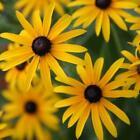 Black Eyed Susan Seeds | Non-GMO | Fresh Perennial Flower Seeds