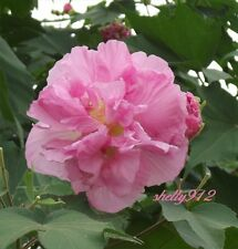 Double Pink Confederate Rose - Hibiscus  mutabilis - 40 fresh seeds! cotton tree