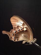 Entomologie Papillon Butterfly Insecte Superbe Papilio peranthus A1!!
