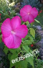 15 SEMI HIBISCUS MOSCHEUTOS FIORE GIGANTE 2020 ibisco rosa seeds samen graines