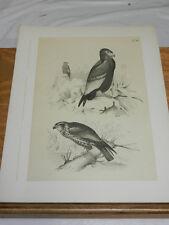 1878 Antique STUDER BIRD Print/JUGGLER KITE, RED KITE