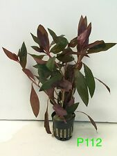 Live Aquatic Fresh Water Plant Ludwigia peruensis Potted Plant P112