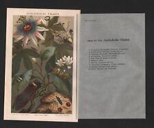 Chromo-litografía 1897: extranjeros las cigarras. chicharra zirpe micrófono insectos