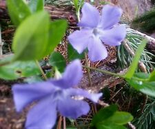 Periwinkle Vinca Minor Ground Cover 25 Starter Roots -