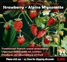 Strawberry Apine Mignonette 100 Seeds Minimum Vegetable Garden Plant. Easy Grow.