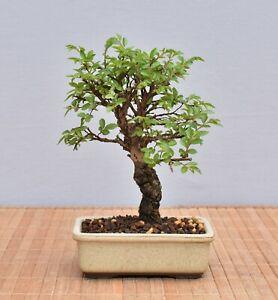 Bonsai Outdoor, Japanische Ulme (Ulmus japonica) Shohin 21093 | Bonsai-Müller