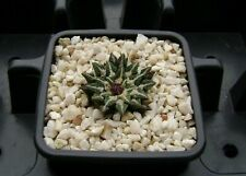 Ariocarpus kotschoubeyanus v. elephantidens ! Own Roots ! Rare Cactus 01201