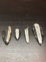 Orthoceras Fossil ( Fossil Squid) Lot Of 4