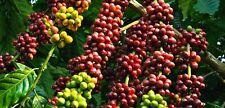 20Pcs Coffee Tree Seeds Coffea Arabica Coffea Canephora Robusta Perennial Plants