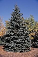 10 Blue Spruce Xmas Trees,Picea Pungens Glauca 20-40cm.Lovely Blue Pine Needles