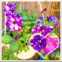 100 PCS Seeds Petunia Flowers Night Sky Bonsai Plants Blooming Water Garden NEW