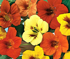 NASTURTIUM JEWEL MIX Tropaeolum Majus - 250 Bulk Seeds