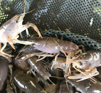 20+ Live Crayfish/Crawfish GUARANTEE ALIVE and FAST SHIPPING