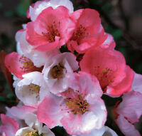 """Toyo Nishiki Flowering Quince - Live Healthy Established - 3 Plants in 3.5"""" Pots"""
