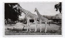 PHOTO ANCIENNE Animal Girafe Zoo de Vincennes Paris Vers 1930-1950 Girafon