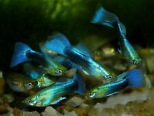 x15 MALES NEON BLUE GUPPY PACKAGE - FISH LIVE FREE SHIPPING