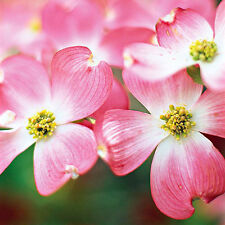 2 Pink Flowering Dogwood Trees(Cornus Florida Ruba)