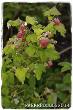 Rubus idaeus 'European Raspberry' [Ex. Co. Durham] 100+ SEEDS