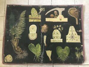 Rare school wall chart biology of Bracken, Jung-Koch-Quentell'sche