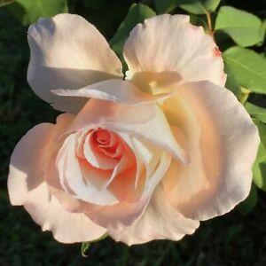 Rose Peace 3 fresh cuttings