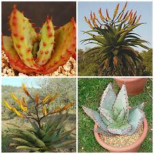 10 Samen der Aloe spectabilis, saftig, Sukkulenten,seed succulents G
