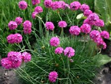 SEA THRIFT Pink Armeria Maritima Ground Cover Perennial Groundcover 10 Seeds