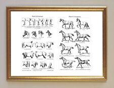Pferd Anatomie Exterieur & Gangarten Faksimile 2 im Rahmen nach Stahlstich 24b