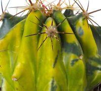 BIGGG Ferocactus haematacanthus HYBRID VARIEGATED 10,5cm NO Adromischus J