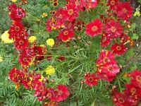 Coreopsis - Red Dwarf- 100 Seeds