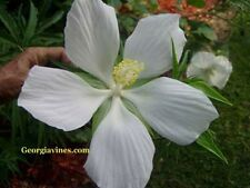 Hibiscus coccinea Alba White Texas Star 10 seeds