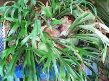 Australian Staghorn / Elkhorn - Platycerium Bifurcatum - Australian Species