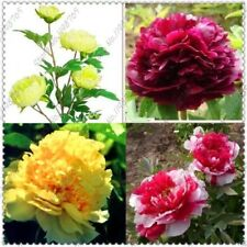 10pcs/bag chinese peony,peony root seeds, Chinese Pink Golden Purple Duble