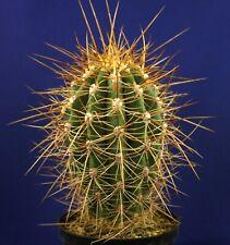 ECHINOSPSIS PASACANA =11,0cm= cacti 仙人掌 กระบองเพชร kakteen #4894
