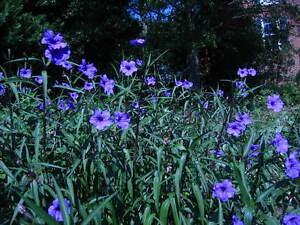 ! 25 MEXICAN PETUNIA RUELLIA BRITTONIANA PERENNIAL PLANT SHRUB GARDEN LANDSCAPE