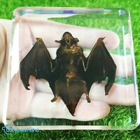Real Bat Paperweight Education Animal Specimen in 75x75x20mm Clear Resin Block