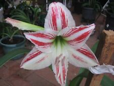 HIPPEASTRUM  VITTITUM  X 1  12 TO 18 MONTH OLD BULB.