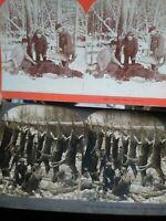 TWO Stereoviews - 1899 & 1903 Deer / Moose Hunting photo B.L. Singley - Keystone