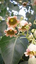 20 Semillas de Arbol Botella (Brachychiton populneus) seeds